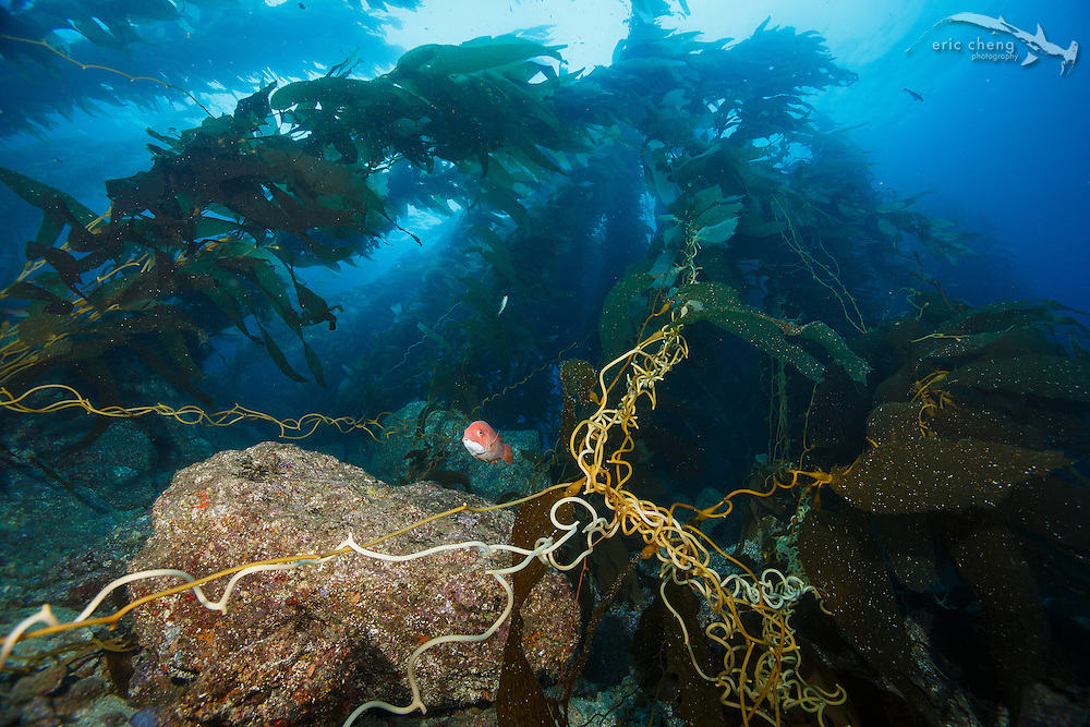 A curious fish in the kelp forest at Goat Harbor, Catalina, Channel Islands, California