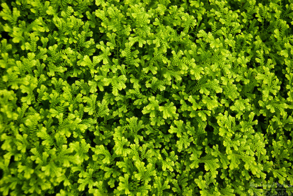 A green ground cover fills the bottom of the Royal Belgian Greenhouse