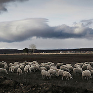 Sheeps near Leon, Leon province. Spain . The WAY OF SAINT JAMES or CAMINO DE SANTIAGO following the French Route, between Saint Jean Pied de Port and Santiago de Compostela in Galicia, SPAIN. Tradition says that the body and head of St. James, after his execution circa. 44 AD, was taken by boat from Jerusalem to Santiago de Compostela. The Cathedral built to keep the remains has long been regarded as important as Rome and Jerusalem in terms of Christian religious significance, a site worthy to be a pilgrimage destination for over a thousand years. In addition to people undertaking a religious pilgrimage, there are many travellers and hikers who nowadays walk the route for non-religious reasons: travel, sport, or simply the challenge of weeks of walking in a foreign land. In Spain there are many different paths to reach Santiago. The three main ones are the French, the Silver and the Coastal or Northern Way. The pilgrimage was named one of UNESCO's World Heritage Sites in 1993. When there is a Holy Compostellan Year (whenever July 25 falls on a Sunday; the next will be 2010) the Galician government's Xacobeo tourism campaign is unleashed once more. Last Compostellan year was 2004 and the number of pilgrims increased to almost 200.000 people.