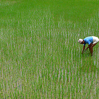 Farmer collectino rice in a flooded field B1276