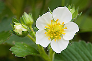 Wild Strawberry blooms in late spring in Chugach State Park in Southcentral Alaska.