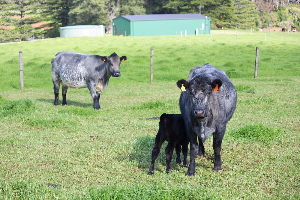 Breed of cattle called Norfolk Blue, Norfolk Island, Australia