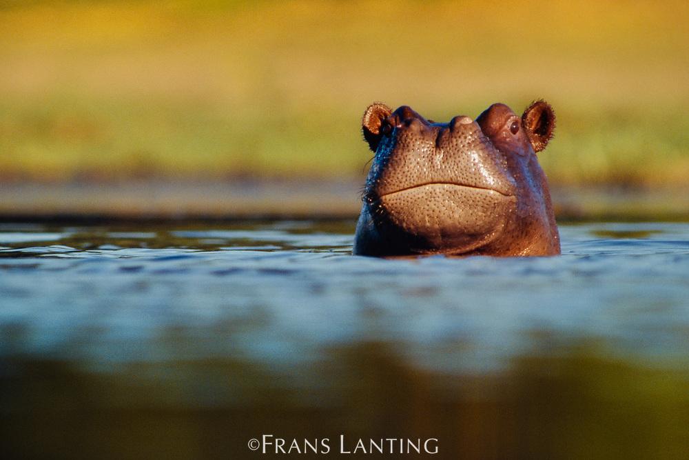 Young hippo, Hippopotamus amphibius, Okavango Delta, Botswana