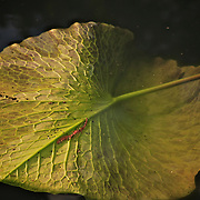 Photo of floating upside down lily pad by Leandra Melgreen Lewis, Midwest travel writer and photographer.