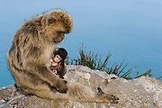 Barbary Macaque or Barbary Ape (Macaca sylvanus) &amp; baby<br /> GIBRALTAR, UNITED KINGDOM<br /> Only monkey in Europe. True monkeys not apes and the only monkey without a tail. They are arboreal and terrestrial.<br /> IUCN: ENDANGERED SPECIES