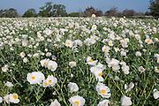 White Prickly Poppy (Argemone albiflora),  Blanco County, Texas