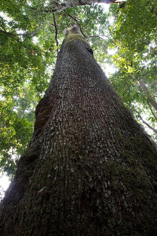 Mato Grosso, Brazil. October 1st  2007.  Cristalino State Park. Brazilian Nut Tree (Bertholletia excelsa)Portuguese: Castanheira.