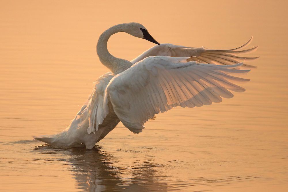 When wildfires are burning in Yellowstone, all that smoke doesn't usually make for good photography, but sometimes the combination of clouds, smoke and dust can create dramatic color and light. That's what happened when photographing this trumpeter swan.  Always the picture of elegance, the peach-tinged light seemed to enhance the beauty of this gorgeous bird.