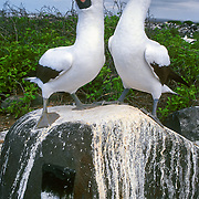 A mated pair of Nazca Boobies (Sula granti), Galápagos Islands, Ecuador, South America. The Nazca Booby (which has an orange beak) was formerly regarded as a subspecies of the Masked Booby (which has a yellow beak) but is now recognized as a separate species. Nazca and Masked Booby species differ in size, nesting habits, and mtDNA cytochrome b sequence data. Published full page in Eagle-Eye Tours Travel Schedule 2006.