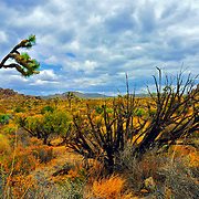 Diagonal Tree Landscape, Joshua Tree National Park