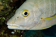 Dog Snapper (Lutjanus jocu)<br /> BONAIRE, Netherlands Antilles, Caribbean<br /> HABITAT &amp; DISTRIBUTION: Mid-range reefs, wrecks and rocky inshore areas.<br /> Florida, Bahamas, Caribbean, Gulf of Mexico, north to Massechusetts &amp; south to Brazil.