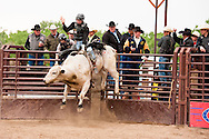 Bull Riding, Miles City Bucking Horse Sale, Montana, cowboys, rodeo