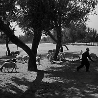 .HOTAN, 3 OCOTBER 2001:a young sheperd takes care of his flock near the Taklamakam desert in Hotan..Uighur muslims in southern Xinjiang province lead very basic lifestyles and have an average monthly income of about 50 US$.. . .  . .