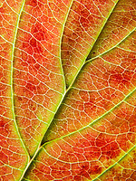 Close-up of a fall leaf.