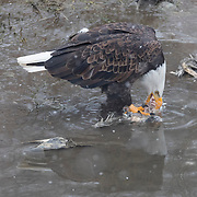 An adult bald eagle (Haliaeetus leucocephalus) feasts on a salmon carcass in the Nooksack River near Welcome, Washington. Hundreds of bald eagles winter in the area to feast on spawned-out salmon.