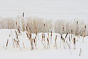 Cat tails in snow, White Lake, Lower Klamath National Wildlife Refuge, Oregon-California border.