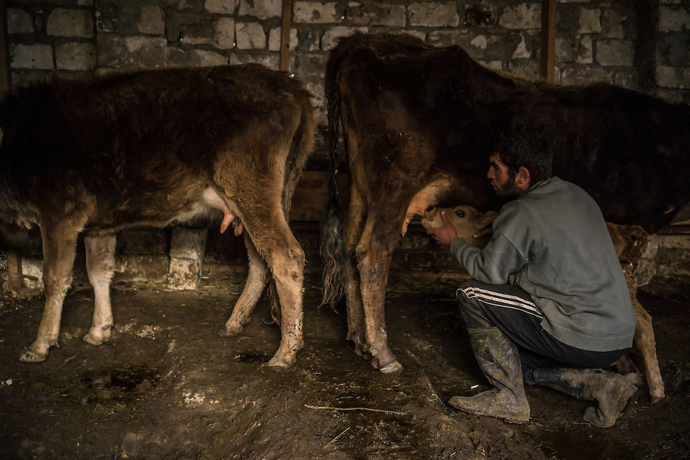 VANK, NAGORNO-KARABAKH - APRIL 22: Gevorg Akulyan, 24, helps a calf to take milk from a cow on a farm in the mountains on April 22, 2015 near Vank, Nagorno-Karabakh. Since signing a ceasefire in a war with Azerbaijan in 1994, Nagorno-Karabakh, officially part of Azerbaijan, has functioned as a self-declared independent republic and de facto part of Armenia, with hostilities along the line of contact between Nagorno-Karabakh and Azerbaijan occasionally flaring up and causing casualties. (Photo by Brendan Hoffman/Getty Images) *** Local Caption *** Gevorg Akulyan