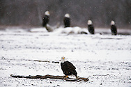 A bald eagle (Haliaeetus leucocephalus) sits on a log on the banks of the Chilkat River with four eagles in the background as it snows in the Chilkat Bald Eagle Preserve near Haines in Southeast Alaska. Winter. Morning.