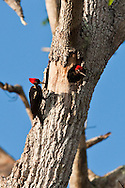 A pair of Lineated Woodpeckers (Dryocopus lineatus) in the morning sun - Osa Peninsula, Costa Rica