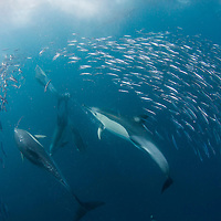 Common Dolphin, Delphinus delphis, hunting a school of Sardines, Sardinops sagax, at the annual Sardine Run, South Africa.