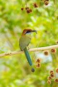 Russet-crowned Motmot <br /> Momotus mexicanus<br /> El Tuito, Jalisco, Mexico<br /> 12 June      Adult carrying food.      Momotidae