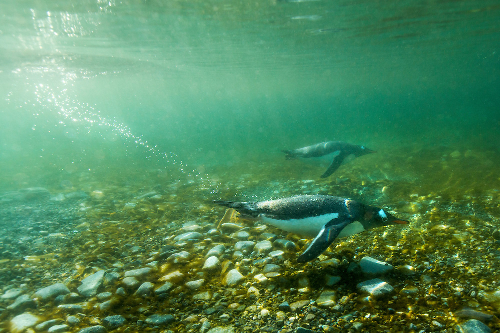 Antarctica, Cuverville Island, Underwater view off Gentoo Penguins (Pygoscelis papua) swimming along shallow shoreline