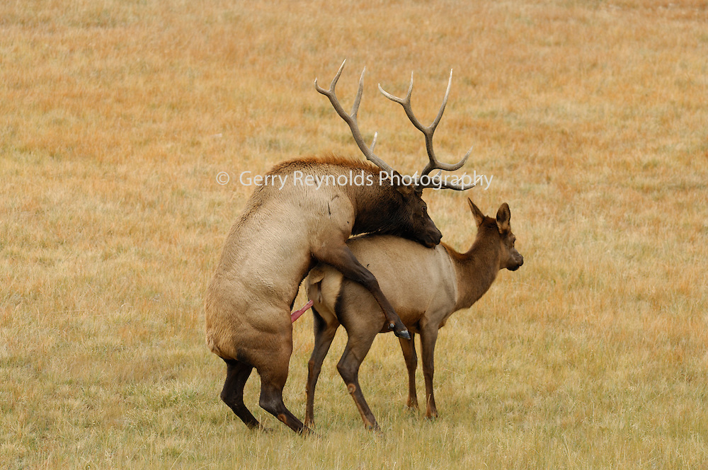 Gallery For > Elk Pictures