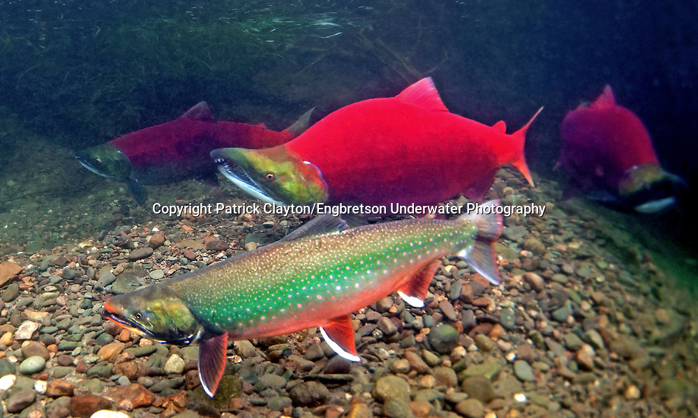 Dolly varden engbretson underwater photography for Dolly varden fish