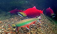 Dolly Varden (with Sockeye Salmon)<br />