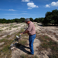 LAKE WALES, FL -- October 13, 2010 -- Citrus grower Marty McKenna walks through where decades-old diseased trees have been stripped and replanted in one of his orange groves in Lake Wales, Fla., on Wednesday, October 13, 2010.  The housing bust left orange groves - which were scooped up by investors - unattended, overgrown and full with disease.  That disease is spreading to healthy, adjacent fields - leaving citrus growers scrambling to replant lost production.  .ORANGES