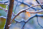 Frost on oak branch and leaf, Kolob Canyons, Zion National Park, Utah USA