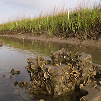 Oyster Castles with young oysters, Shim Creek, McClellanville, SC.