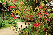France, Languedoc Roussillon, Gard, Cevennes, Anduze, Prafrance, La Bambouseraie, Begonia maculata , Begonia-bambou
