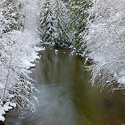 Trees covered in fresh winter snow line the banks of Squire Creek located near Darrington in Snohomish County, Washington.