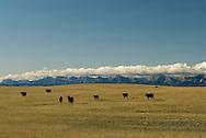 Angus cattle, Rocky Mountain Front, Blackfeet Indian Reservation, Montana