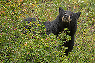 During the late summer months, berries provide an important food source for bears in the Greater Yellowstone Ecosystem. Some ursine favorites include, huckleberry, serviceberry, winterberry and grouse whortleberry.