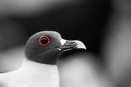 The Swallowed Tail Gull has a distinct red fleshly circle around its eye.  They also possess large eyes that help them forage at night.  Their diet consists of fish and squid.