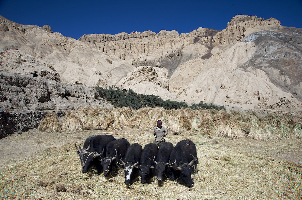 A man from Lamayuru Village in Ladakh threshes barley with his yaks in a manner that has been passed down through the generations.  Threshing machines are slowly making their way into Ladakh but this man prefers the traditional methods.