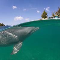 Bahamas, Grand Bahama Island, Freeport, Captive Bottlenose Dolphin (Tursiops truncatus) swimming in Caribbean Sea at UNEXSO site