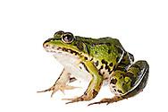 Edible frog in the field studio