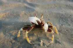 A feisty Horn-eyed Ghost crab  (Ocypode ceratophthalma) defends itself on Broome's Cable Beach
