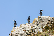 Double-crested Cormorants (Phalacrocorax auritus) perched on top a cliff in the Copper River Delta in Southcentral Alaska. Spring. Morning.
