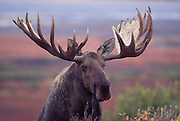 Alaska. Denali National Park and Preserve.. Bull Moose (Alces alces) with tundra in background.