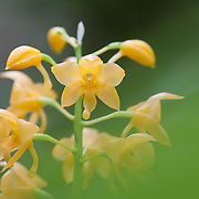 Orchid species, Kinabalu National Park, Borneo, Malaysia.