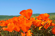 California Poppies Blooming in the Antelope Valley of Southern California