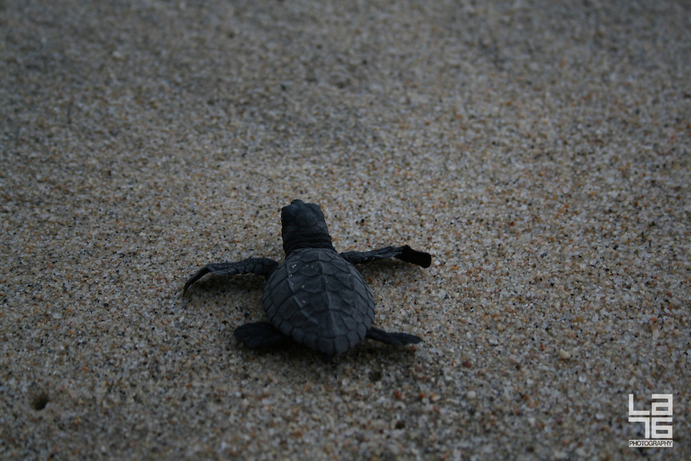 Turtle Release in Los Cabos, at the Beach Club of Club Campestre. <br /> Sea turtle monitoring, nurseries, and hatchling release programs are helping to improve sea turtle survival rates in Los Cabos.<br /> Sea turtles migrate the world's oceans and have come to Los Cabos beaches to lay their eggs for millions of years. Two of the world's eight sea turtle species nest in Los Cabos. The smallest, the Olive Ridley, also known as the golfina, nests June through to December. The golfina feeds on shrimp, jellyfish, snails and algae, and can grow to 26 inches long, weighing up to 90 pounds. The largest marine turtle, the Laud, or leatherback, nests on our beaches from November through February. Leatherbacks grow up to 70 inches long, weighing up to 1,300 pounds. Its favorite food is jellyfish, and it will dive up to one kilometer in search of food. Golfinas, and especially leatherbacks, are endangered species, suffering from the effects of long lines, fishing nets, development, and illegal poaching.<br /> Most mature sea turtle females return to the beach of their birth, called a natal beach, to dig their nests and lay their eggs at night. Only about one in 1,000 of their offspring will survive the treacherous journey from the nest to maturity. After incubating for about two months, they hatch, and take several days to claw their way out of the nest, instinctively making their way to the sea, following the moon and the horizon. Many fall prey to birds and sand crabs as they struggle to reach the shore, others are led off track by deep grooves left from vehicular traffic and disorienting artificial lighting from beachfront hotels and residential areas. Once in the ocean, they face new predators or are victims of long line fishing nets, poaching and pollution.<br /> Sea turtle nursery programs greatly improve hatchling survival rates through the first critical stage of their lives. The tiny hatchlings are returned to their nesting area, and released close to the sea at sunr