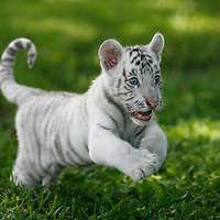 BRENDAN FITTERER     Times.PT_327165_FITT_tiger_1 (08/20/2010 Dade City) .Diamond, an 8-week-old white tiger, pounces through the grass at Dade City's Wild Things zoo. Though only 20 pounds now, the blue-eyed cat will grow to 600 pounds.