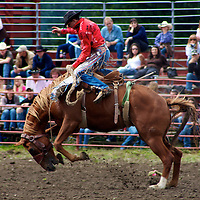 A rider hangs on with the classic Rodeo form - one hand in the air as his horse tries to throw him during the 2009 Roy Rodeo