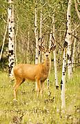 Mule deer in velvet standing among aspens in the San Juan Mountains of Colorado