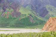 A Denali Park bus lends scale to the grand landscapes of Denali National Park near the Toklat River in Southcentral Alaska. Summer. Morning.